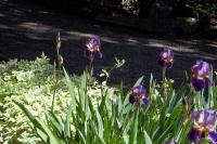 Iris Garden Clark Fork Idaho